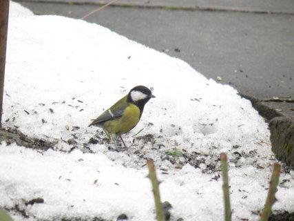 FOTKA - Ptáci v zimě 204