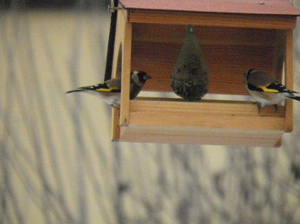 FOTKA - Ptáci v zimě 207