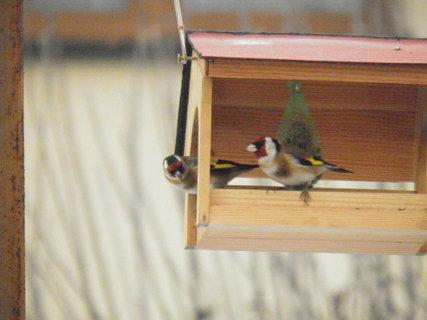 FOTKA - Ptáci v zimě 209