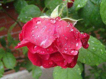 FOTKA - sklonená hlavička ruže