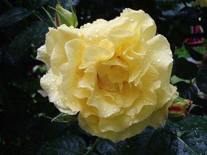 FOTKA - zmoknutá žltá ruža