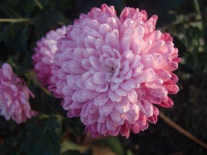FOTKA - melírovaná hlavička chryzantémy