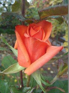 FOTKA - ružička pod listami