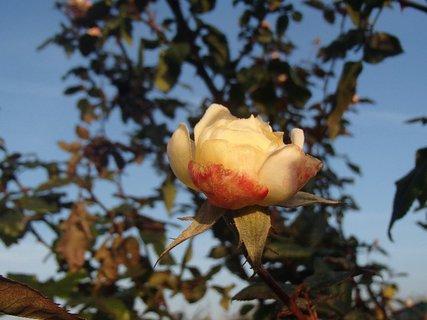 FOTKA - skoro mrzne a ruže ešte kvitnú