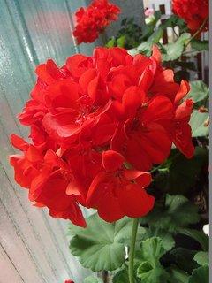 FOTKA - aj červený muškát ešte kvitne