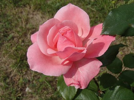 FOTKA - posledná ružová
