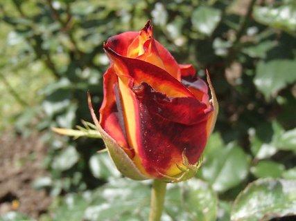 FOTKA - zaujímavo sfarbená ruža