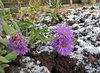 astřice kvetou už od jara