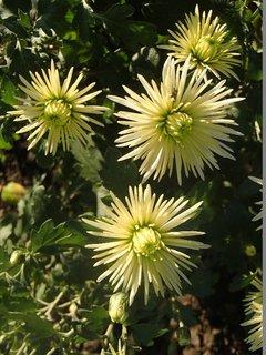 FOTKA - biele chryzantémy pred rozvinutím
