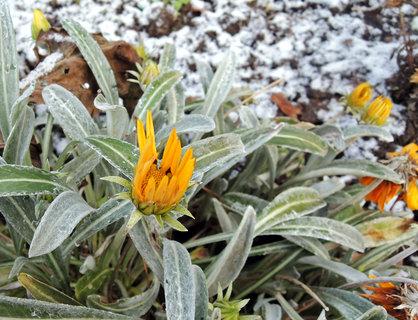 FOTKA - sněhem posypaná gazanie