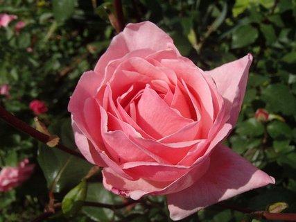 FOTKA - ruža pre všetky CHŽ