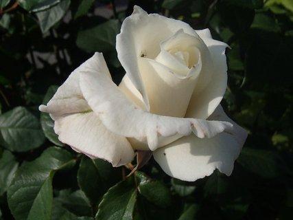 FOTKA - ružička v bielom