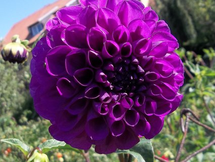 FOTKA - Jiřinka fialová v září