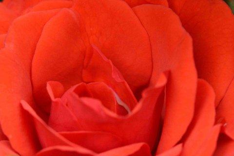 FOTKA - Detail růže