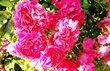 letní růže.. 18