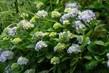 hortenzie modrá