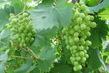 víno roste před očima :)