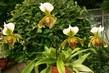 orchidej 20