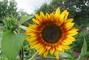 Slunečnice - už rozkvétá