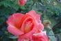 Růže  ..