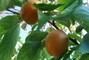 meruňky - jsou slaďoučké