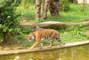 Tygr na procházce :)