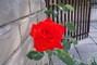 Růže  ...
