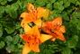 Lilie oranžová