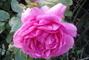 růže........