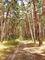 cesta borovým lesem
