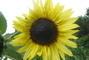 Okrasná slunečnice.