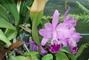 orchidej kvete