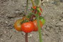 rajčátka