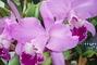 orchidea,