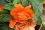 Begonie  oranžová