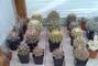 Tchána kaktusy