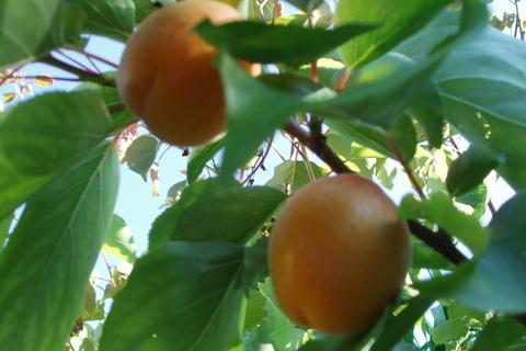 FOTKA - meruňky - jsou slaďoučké