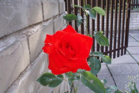 FOTKA - Růže  ...