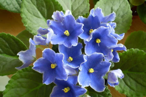 FOTKA - Modrá fialka 2