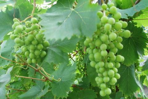 FOTKA - víno roste před očima :)
