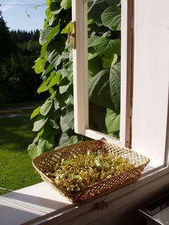 FOTKA - okno s lipovým květem