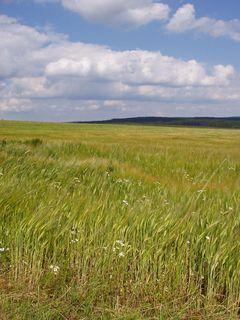 FOTKA - krajina na žďársku - zrající obilí