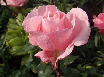 FOTKA - letná ruža