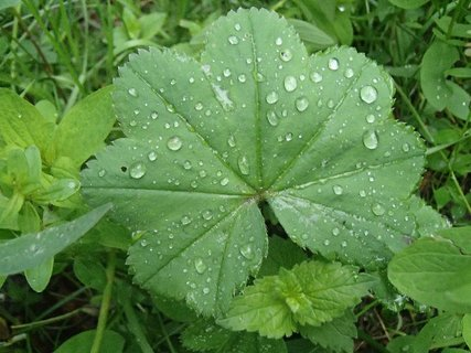 FOTKA - kvapky na zelenom liste