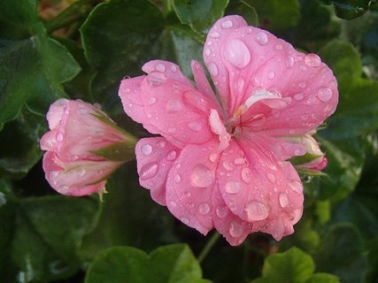 FOTKA - ružový muškát po daždi