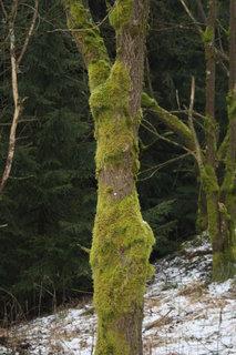 FOTKA - stromy v kožíšku-