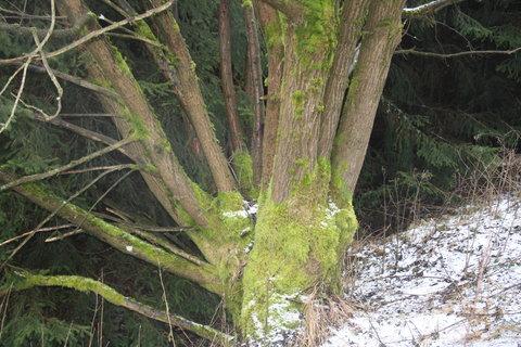 FOTKA - stromy v kožíšku+.