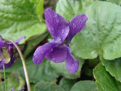 FOTKA - kvapky dažďa na fialke