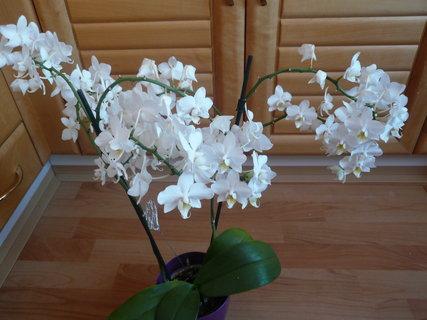 FOTKA - orchidej plná květů