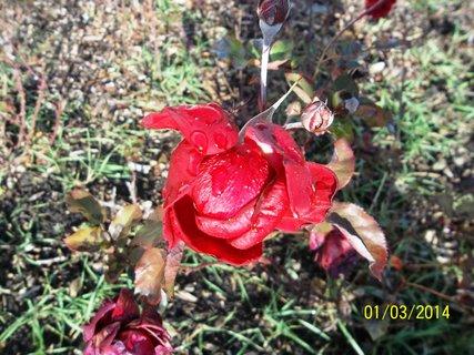 FOTKA - 3. ledna 2014 v Kroměříži kvetly růže..